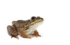 Green frog (Rana clamitans).  Royalty Free Stock Photo