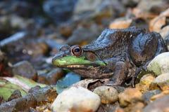 Green Frog (Rana clamitans). Sitting on the edge of the Kishwaukee River in Illinois Royalty Free Stock Photos