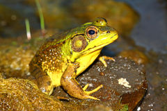 Green Frog (Rana clamitans). In a wetland of northern Illinois Stock Photo