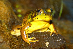 Green Frog (Rana clamitans). At Deer Run Forest Preserve of Illinois Stock Photography