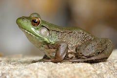 Green Frog (Rana clamitans). Green Frog (Ranam clamitans) on a rock in spring Royalty Free Stock Image