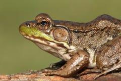 Green Frog Rana clamitans Stock Images