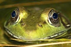 Green Frog Rana clamitans Stock Photography