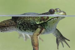 Green Frog & x28;Rana clamitans& x29;. Close-up of a Green Frog & x28;Rana clamitans& x29; in a pond partially underwater Royalty Free Stock Photography