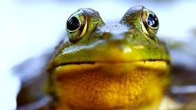 Green Frog (Rana clamitans) stock footage