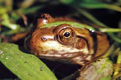 Green Frog - rana clamitans Royalty Free Stock Photos