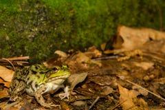 Green Frog (Rana Clamitans) Stock Image