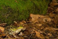 Green Frog (Rana Clamitans) Stock Photos