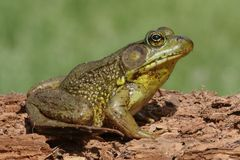 Green Frog (Rana clamitans) on a log Stock Image