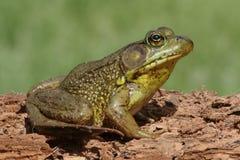 Green Frog (Rana clamitans) on a log. Green Frog (Rana clamitans) on a log with a colorful background Stock Image