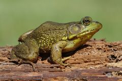 Green Frog (Rana clamitans) on a log. With a colorful background Royalty Free Stock Photos
