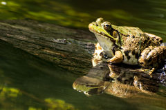 Green Frog (Rana Clamitans). Green Frog on a log over a pond Royalty Free Stock Photography