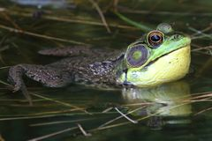 Green Frog (Rana clamitans) in a Pond. With a bright yellow throat Royalty Free Stock Photo