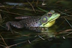 Green Frog (Rana clamitans) in a Pond Stock Photos