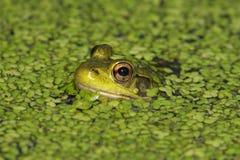 Green Frog (Rana clamitans) Royalty Free Stock Photography