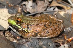 Green Frog (Rana clamitans) in a Pond. With duckweed Royalty Free Stock Image