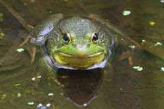 Green Frog (Rana clamitans) in a Pond. With duckweed Stock Photos