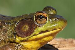 Green Frog (Rana clamitans) Stock Photography