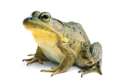 Green frog (Rana clamitans) Royalty Free Stock Photo
