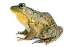 Green frog (Rana clamitans). On a White Background Stock Photo