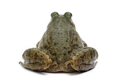 Green frog (Rana clamitans) Stock Photos
