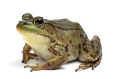 Green frog (Rana clamitans). On a White Background Stock Photography