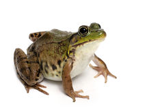 Green frog (Rana clamitans). On a White Background Royalty Free Stock Photography