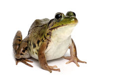 Green frog (Rana clamitans) Royalty Free Stock Photos