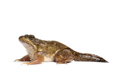 Green frog (Rana clamitans). On a White Background Royalty Free Stock Photos