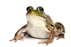 Green frog (Rana clamitans). On a White Background Royalty Free Stock Images