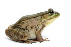 Green frog (Rana clamitans). On a White Background Stock Photos