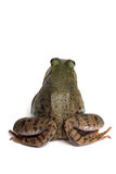 Green frog (Rana clamitans) Stock Images