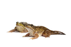 Green frog (Rana clamitans). On a White Background Stock Images