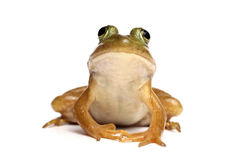 Green frog (Rana clamitans) Royalty Free Stock Images