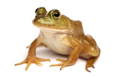 Green frog (Rana clamitans). On a White Background Stock Image