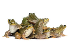 Green frog (Rana clamitans). On a White Background Royalty Free Stock Photo