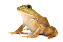 Green frog (Rana clamitans). On a White Background Royalty Free Stock Image