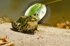 Green Frog - Rana esculenta Stock Photos