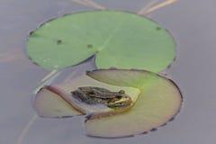 Green frog (Rana kl. esculenta) Stock Photos