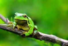 Green frog (Rana ridibunda) Royalty Free Stock Photography