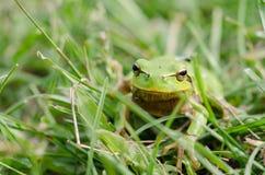 Green frog (Rana ridibunda) in grass Royalty Free Stock Image