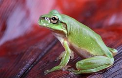 Green frog on red background. An Australian Green Tree Frog - juvenile - Litoria caerulea - sitting on a redish brown palm frond Stock Photo
