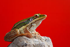 Green frog in red blackground Stock Image
