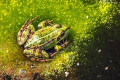 Green frog relaxing in the algae stock photos