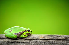 Green Frog. Frog resting on a board Royalty Free Stock Photos
