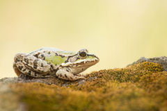 Green frog resting on moss Royalty Free Stock Photography