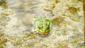 Green frog stock video footage