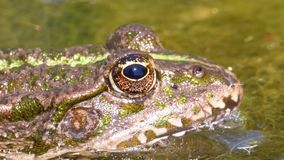 Green frog in the river blinks an eye. close-up. Portrait face of toad in water plants