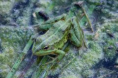 Green  frog and river plants background Stock Photo