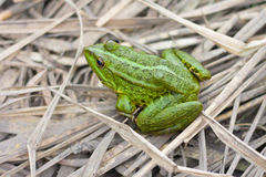 Green  frog Stock Photo